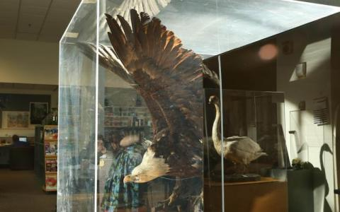 Taxidermied bald eagle and swan in a display case